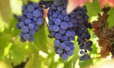 Peljesac Wine Tour